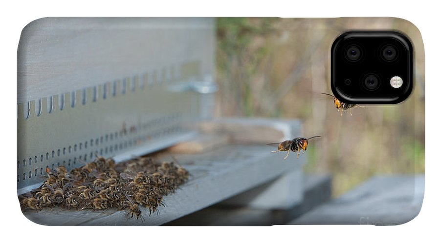 Asian Hornet IPhone Case featuring the photograph Asian Hornets Preying On Bees by Pascal Goetgheluck/science Photo Library