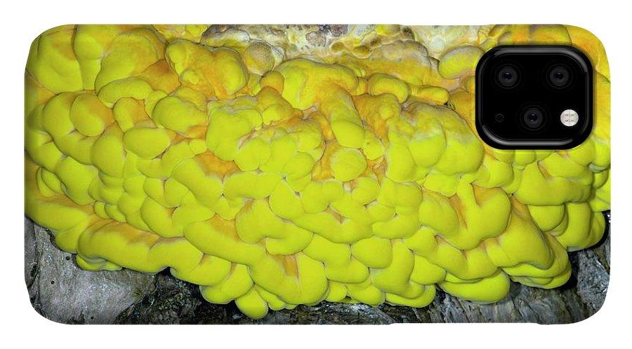 Laetiporus Sulphureus IPhone Case featuring the photograph Bracket Fungus (laetiporus Sulphureus) by Dr Keith Wheeler/science Photo Library