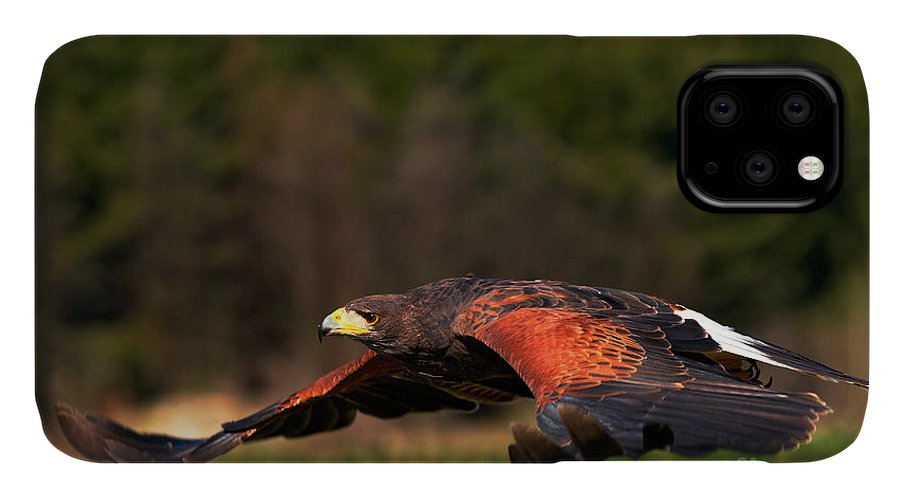 Feather IPhone Case featuring the photograph Flying Bird Of Prey, Harris Hawk by Ondrej Prosicky