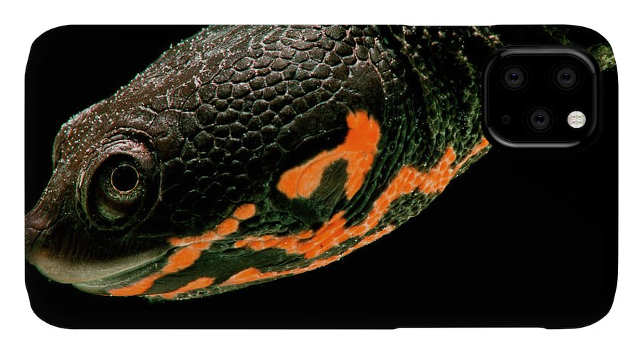 Animal IPhone Case featuring the photograph Hatchling Timor Island Snake Neck by Dante Fenolio