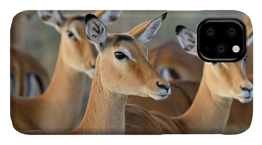 Deer IPhone Case featuring the photograph Impala On Savanna In National Park by Volodymyr Burdiak
