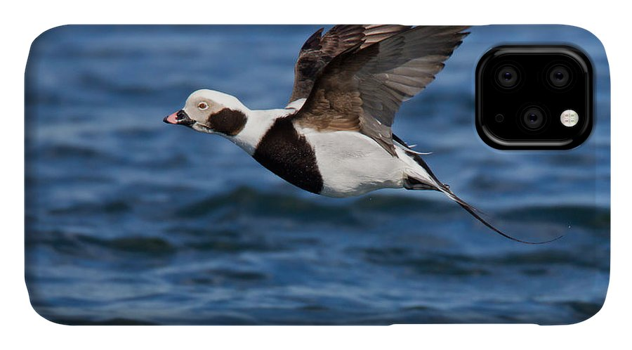 Anatidae IPhone Case featuring the photograph Long-tailed Duck by James Zipp