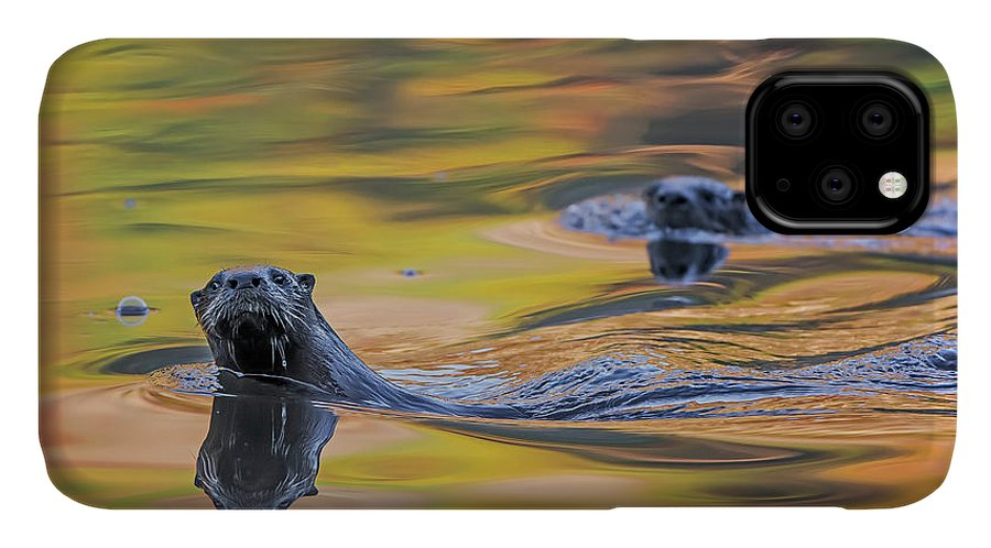 Ottercollection IPhone 11 Case featuring the photograph North American River Otter Two Swimming, Maine, Usa by George Sanker / Naturepl.com