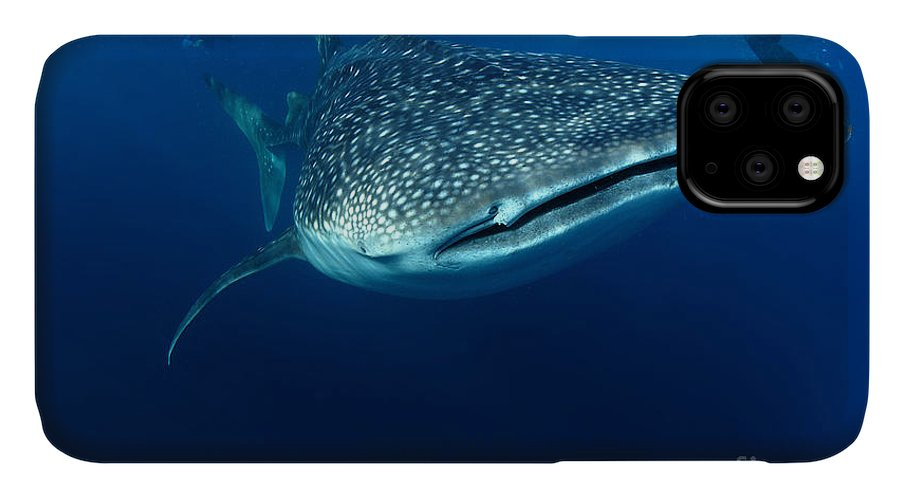 IPhone 11 Case featuring the photograph Whale Shark & Snorkeller Rhincodon by Davidpstephens