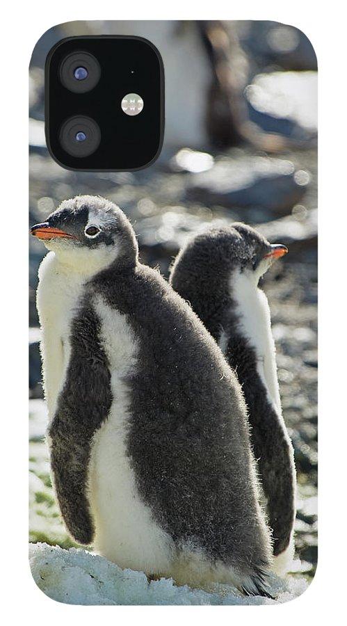 Alertness IPhone 12 Case featuring the photograph Gentoo Penguins Pygoscelis Papua by Jim Julien / Design Pics