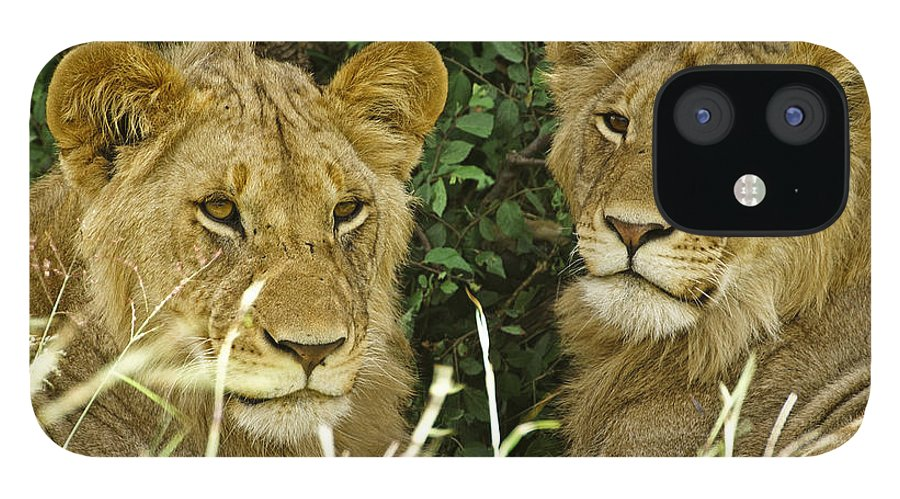 Lion IPhone 12 Case featuring the photograph Young Brothers by Michele Burgess