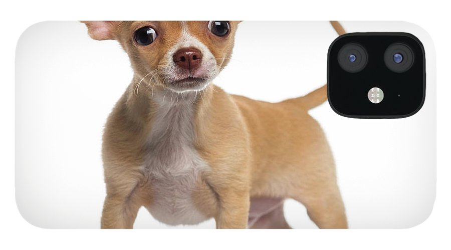 Pets IPhone 12 Case featuring the photograph Alert Chihuahua Puppy 3 Months Old by Life On White