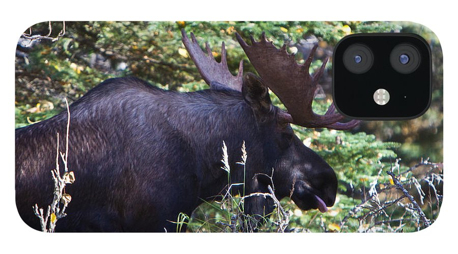 IPhone 12 Case featuring the photograph Bull Moose by Richard Jack-James
