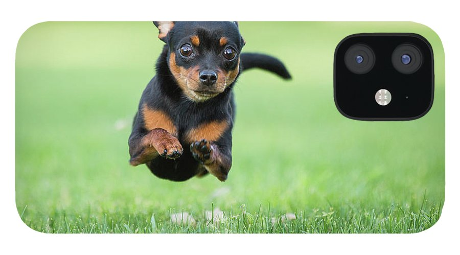 Pets IPhone 12 Case featuring the photograph Chihuahua Dog Running by Purple Collar Pet Photography