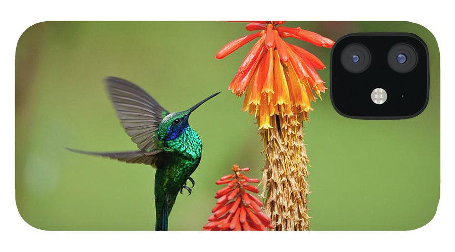 Animal Themes IPhone 12 Case featuring the photograph Colibri Coruscans by Photo By Priscilla Burcher