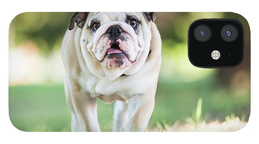 Pets IPhone 12 Case featuring the photograph English Bulldog Puppy Walking Outdoors by Purple Collar Pet Photography