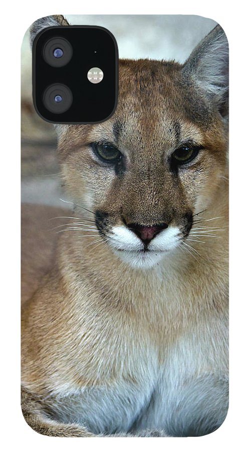 Animal Themes IPhone 12 Case featuring the photograph Florida Panther, Endangered by Mark Newman