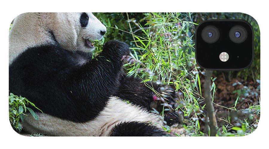 Panda iPhone 12 Case featuring the photograph Giant Panda by Manoj Shah