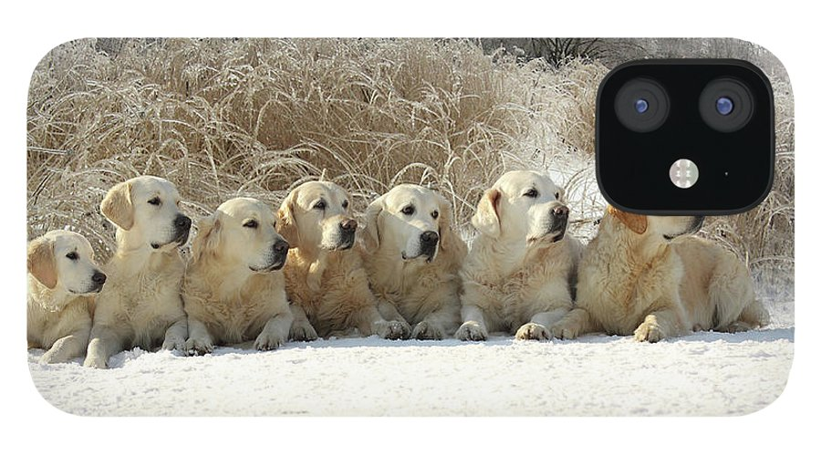 Pets IPhone 12 Case featuring the photograph Golden Retrievers by Sergey Ryumin