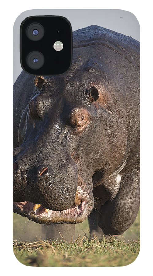 Vincent Grafhorst iPhone 12 Case featuring the photograph Hippopotamus Bull Charging Botswana by Vincent Grafhorst