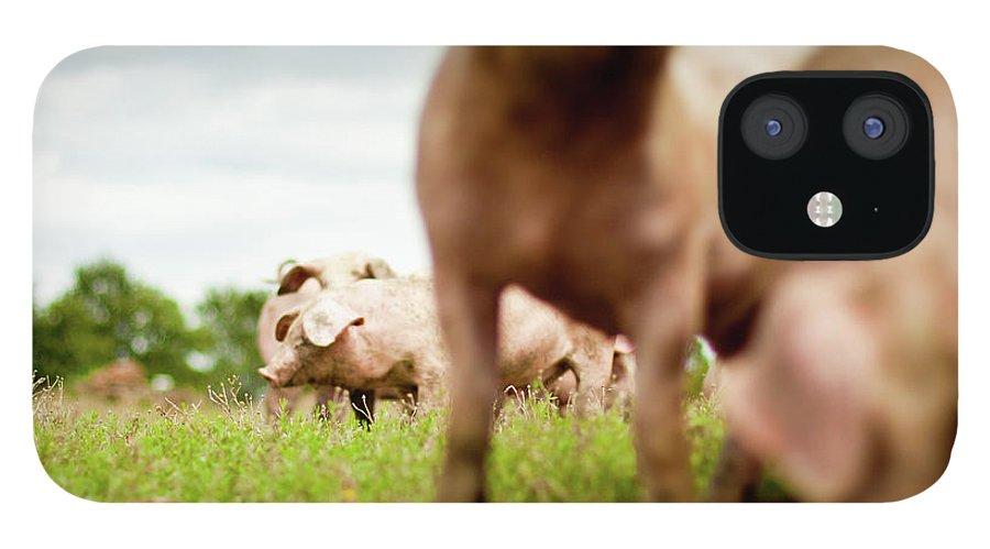 Pig IPhone 12 Case featuring the photograph Little Pigs by Emmanuelle Brisson