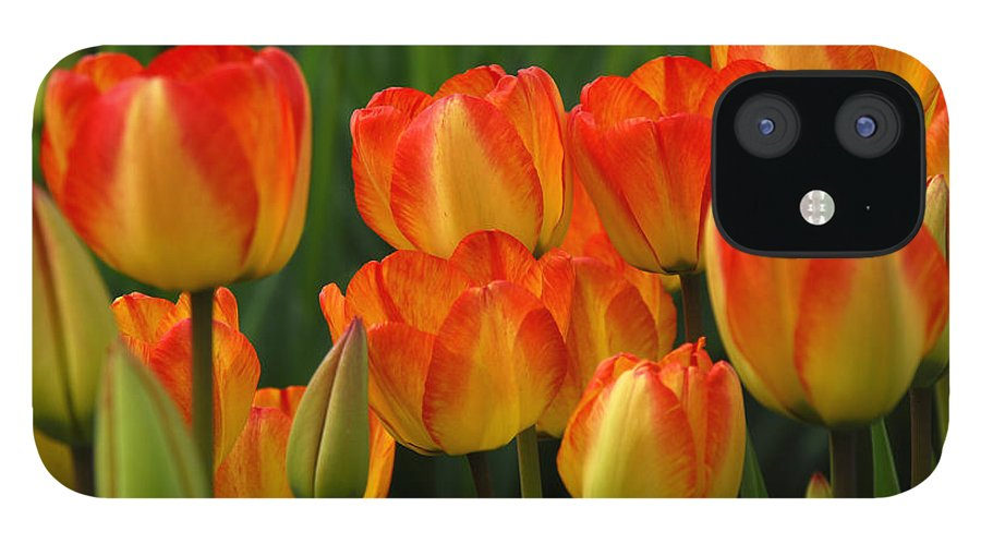 Tulip IPhone 12 Case featuring the photograph Pacific Northwest Tulips 1 by Keith Gondron