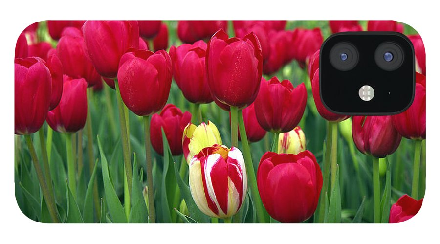 Tulip IPhone 12 Case featuring the photograph Pacific Northwest Tulips 2 by Keith Gondron