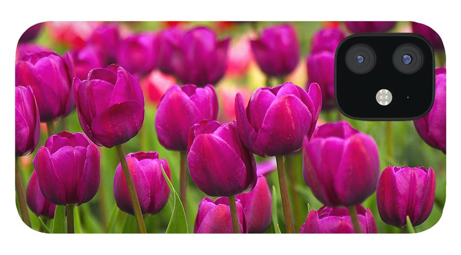 Tulip IPhone 12 Case featuring the photograph Pacific Northwest Tulips 4 by Keith Gondron
