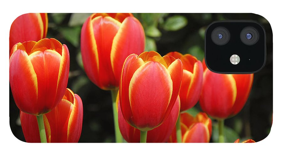 Pacific IPhone 12 Case featuring the photograph Pacific Northwest Tulips 6 by Keith Gondron