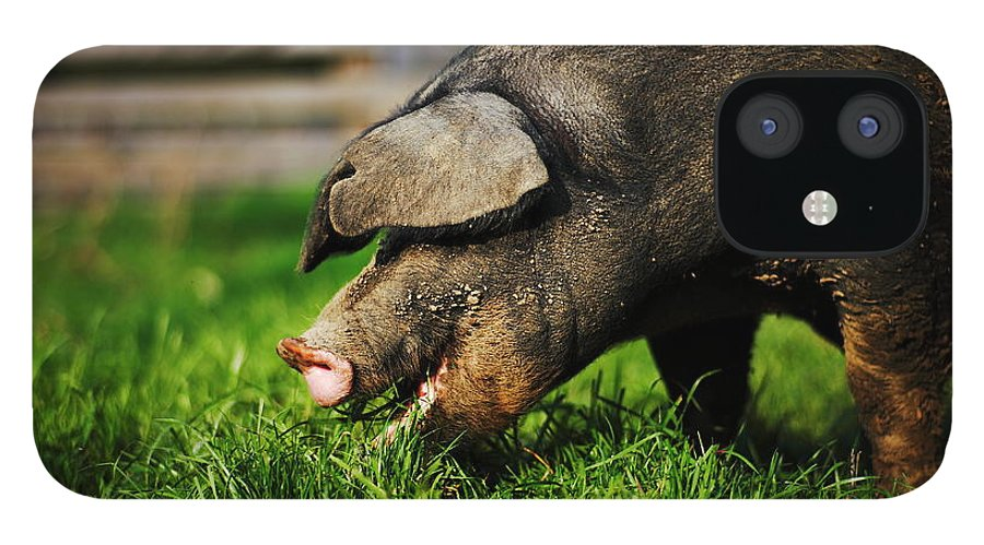 Pig IPhone 12 Case featuring the photograph Pig Eating by Jimss