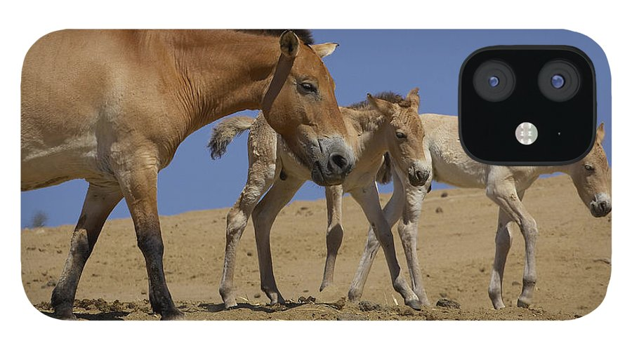 Feb0514 IPhone 12 Case featuring the photograph Przewalskis Horse With Two Foals by San Diego Zoo