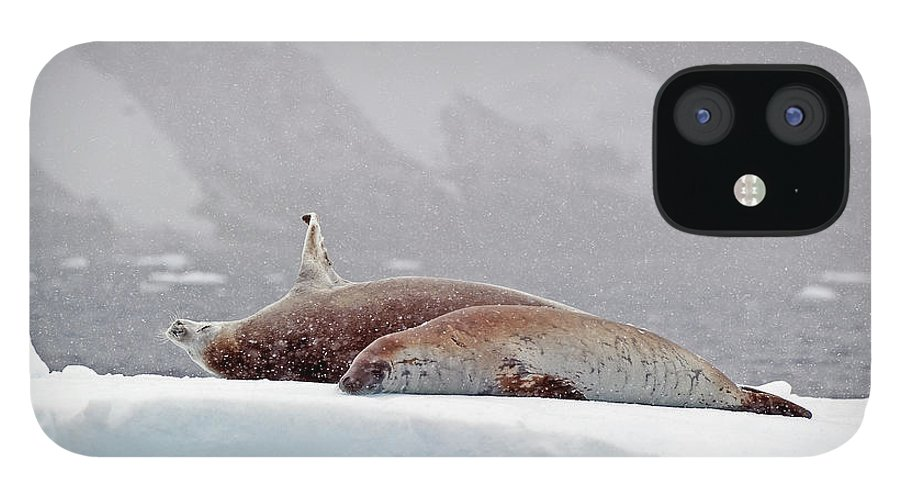 Animals In The Wild IPhone 12 Case featuring the photograph Seals Laying On A Piece Of Ice by Jim Julien / Design Pics
