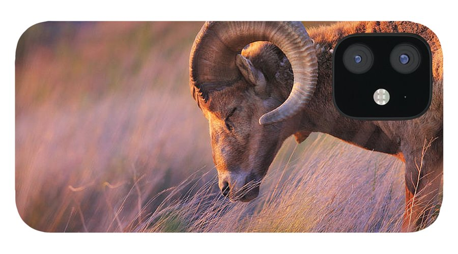 Sheep IPhone 12 Case featuring the photograph Smell The Wind by Kadek Susanto