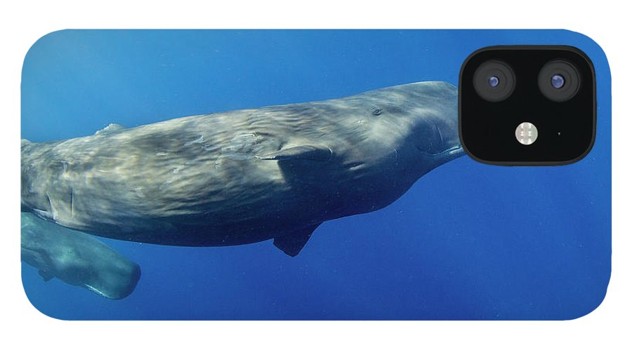 Underwater iPhone 12 Case featuring the photograph Sperm Whale Pyseter Macrocephalus by Stephen Frink