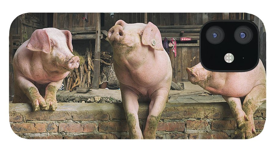 Pig IPhone 12 Case featuring the photograph Three Pigs Having A Chat In A Remote by Mediaproduction