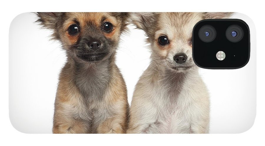Pets IPhone 12 Case featuring the photograph Two Chihuahua Puppies Sitting 3 Months by Life On White