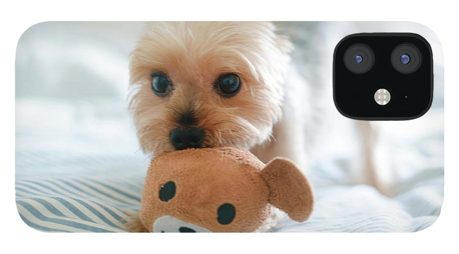 Pets IPhone 12 Case featuring the photograph Yorkie Playing With Teddy Toy by Cheryl Chan