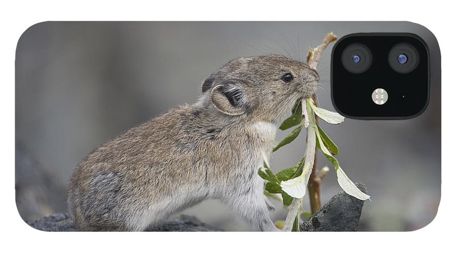 Mp IPhone 12 Case featuring the photograph American Pika by Michael Quinton