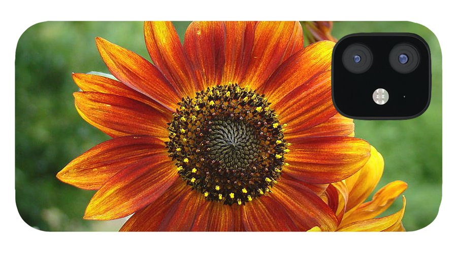 Red Sunflower IPhone 12 Case featuring the photograph Sunflower by Lisa Rose Musselwhite