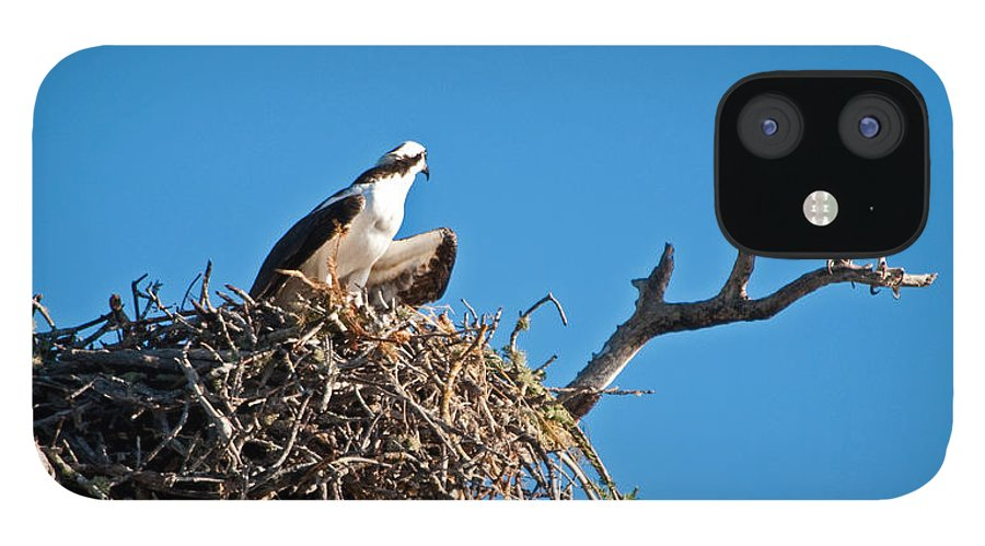 Osprey IPhone 12 Case featuring the photograph You Lookin At Me by Christine Stonebridge