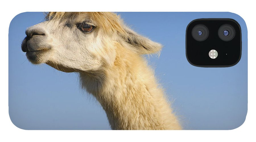 Skip Hunt IPhone 12 Case featuring the photograph Alpaca by Skip Hunt