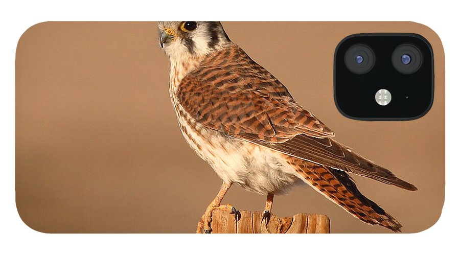Kestrel IPhone 12 Case featuring the photograph American Kestrel Surveying The Surroundings by Max Allen
