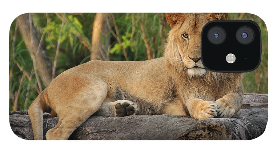 Lion IPhone 12 Case featuring the photograph Classic Young Male by Steven Sparks