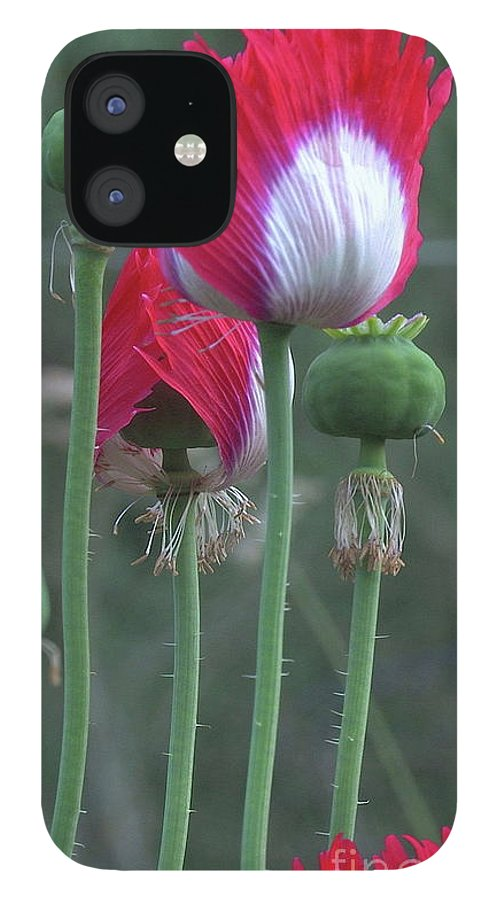 Danish Flag IPhone Case featuring the photograph Danish Flag Papaver somniferum opium Poppies - Flowers and Pods by Organical Botanicals