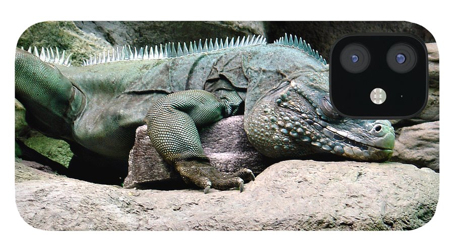 Lizard IPhone 12 Case featuring the photograph Grand Cayman Blue Iguana by Angelina Tamez