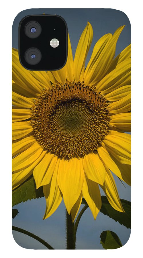 Sunflower IPhone 12 Case featuring the photograph On the rise by Mark Wiley