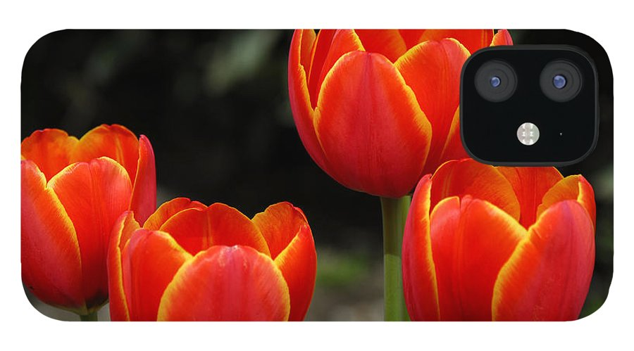Tulips IPhone 12 Case featuring the photograph Pacific Northwest Tulips 5 by Keith Gondron