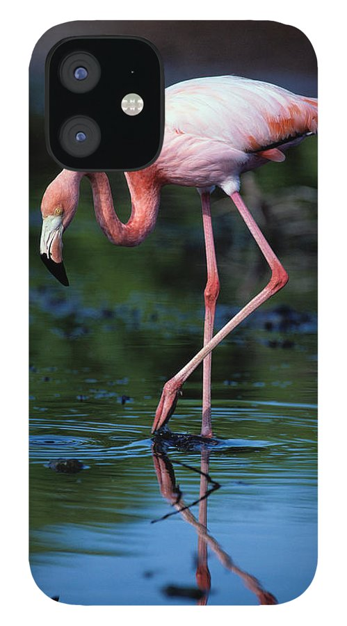 Animal Themes IPhone 12 Case featuring the photograph American Flamingo Phoenicopterus Ruber by Art Wolfe