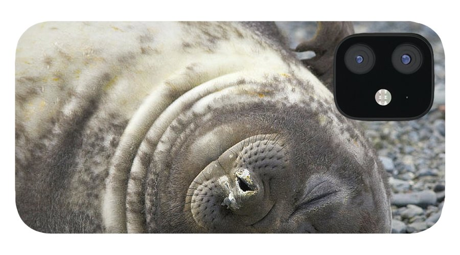 South Georgia Island IPhone 12 Case featuring the photograph Southern Elephant Seal Weaner Pup by Eastcott Momatiuk