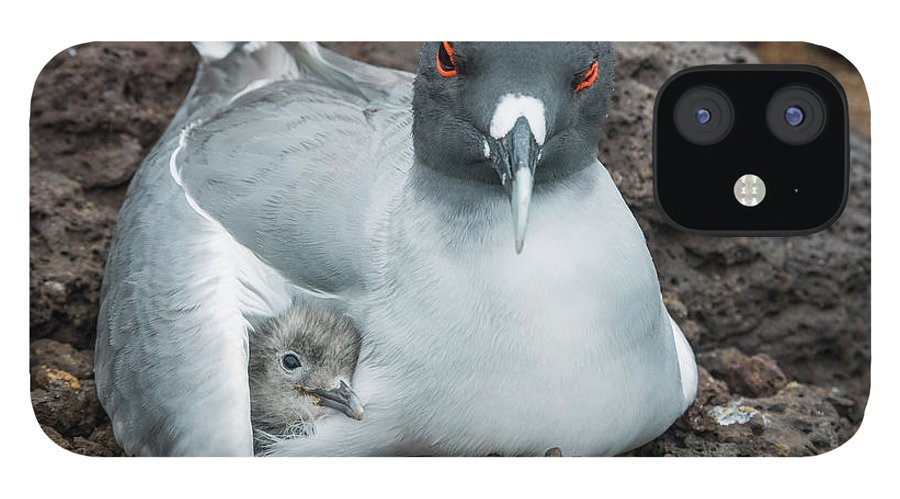 Animal iPhone 12 Case featuring the photograph Swallow-tailed Gull Brooding Chick by Tui De Roy