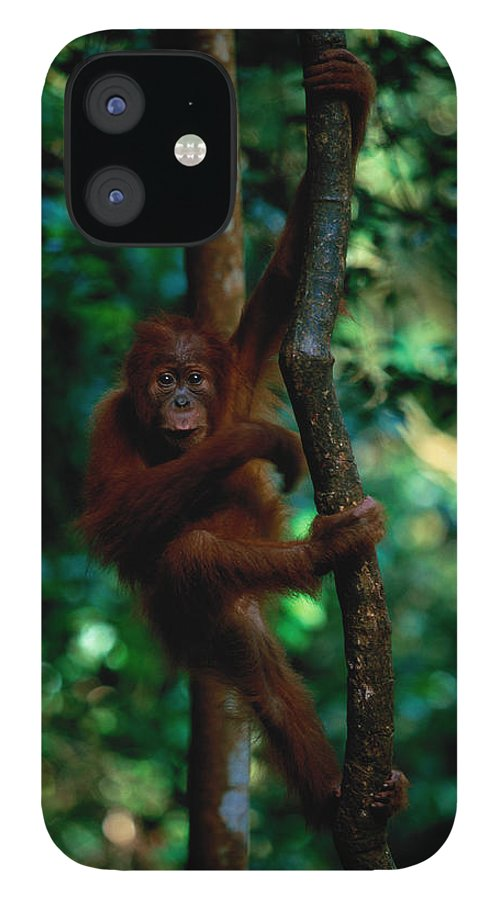 Southeast Asia IPhone 12 Case featuring the photograph Young Sumatran Orangutan Pongo Pongo by Art Wolfe