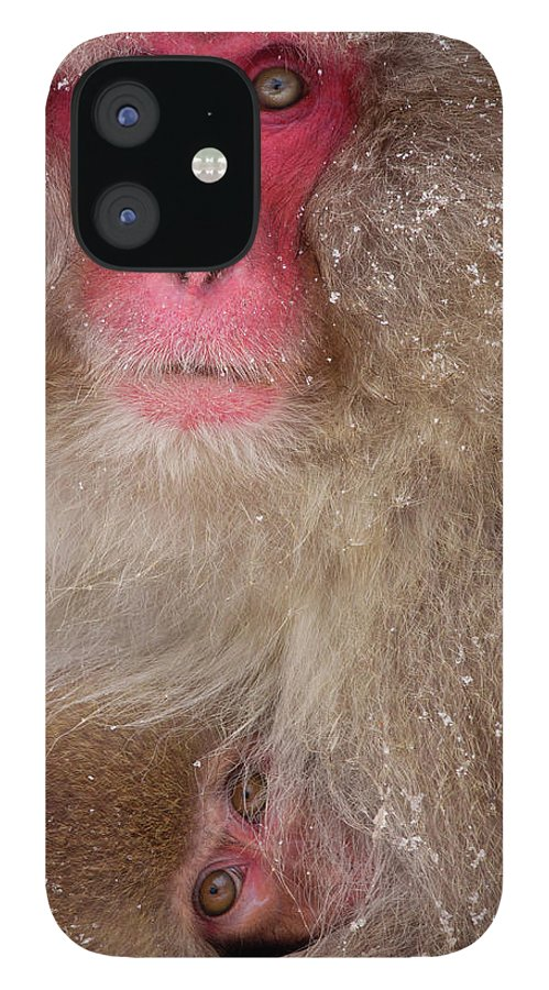 Vertebrate iPhone 12 Case featuring the photograph Japanese Macaques, Japanese Alps by Mint Images/ Art Wolfe