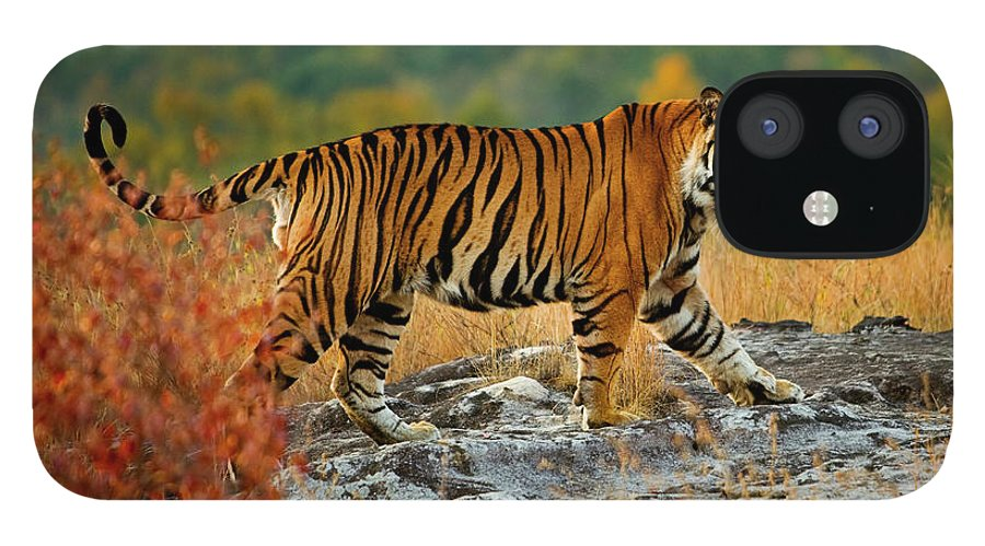 Vertebrate iPhone 12 Case featuring the photograph A Large Tiger In Bandhavgarh National by Mint Images - Art Wolfe