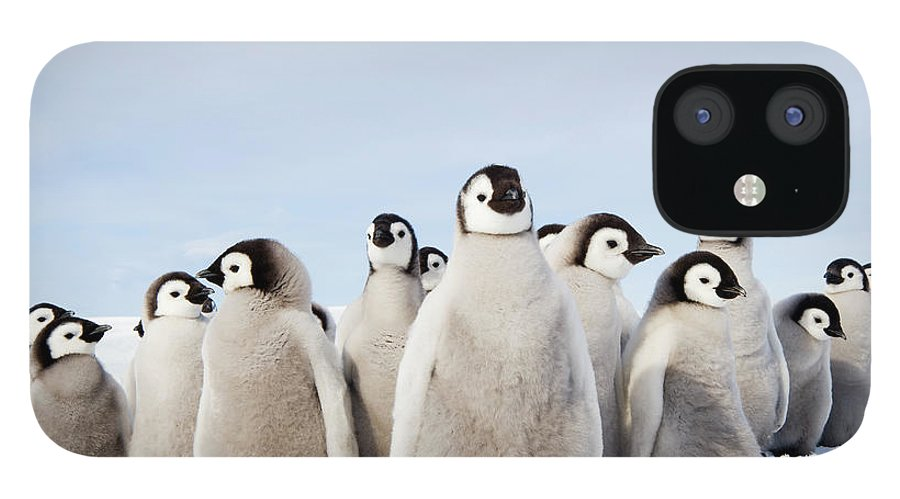 Emperor Penguin IPhone 12 Case featuring the photograph A Nursery Group Of Emperor Penguin by Mint Images - David Schultz