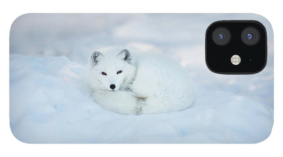 Svalbard Islands IPhone 12 Case featuring the photograph Arctic Fox Resting In The Snow by Seppfriedhuber